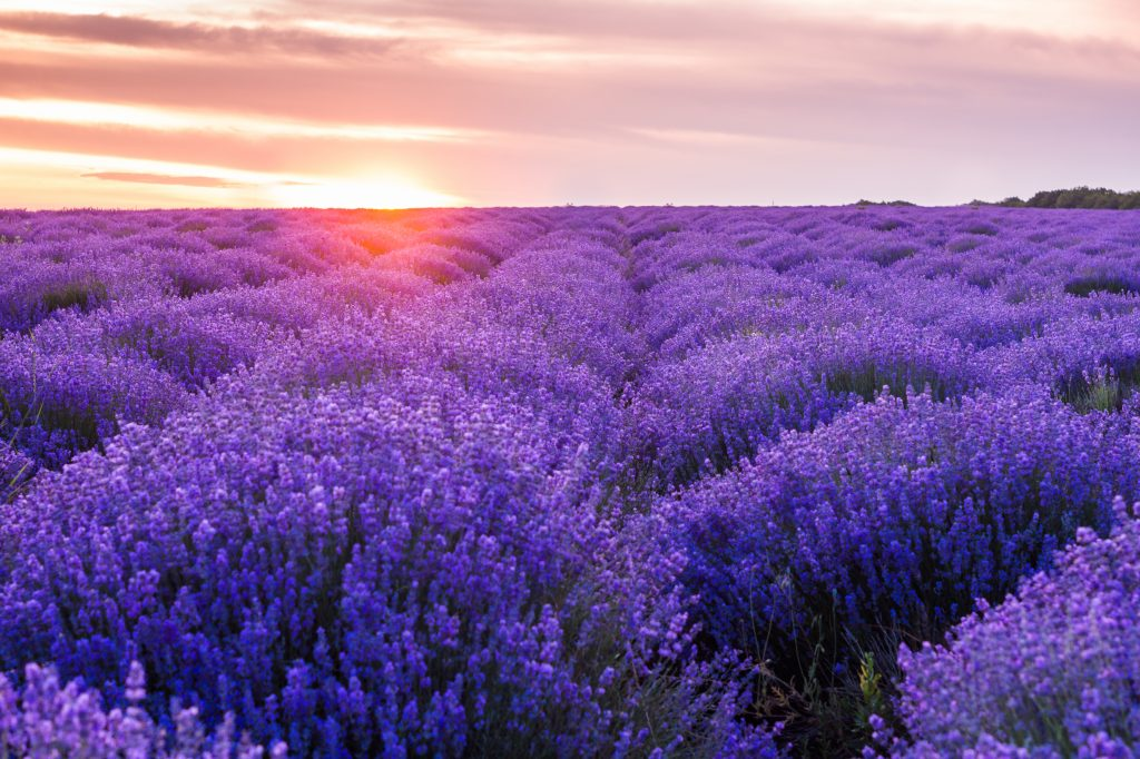 Lavendelfeld mit Sonnenuntergang